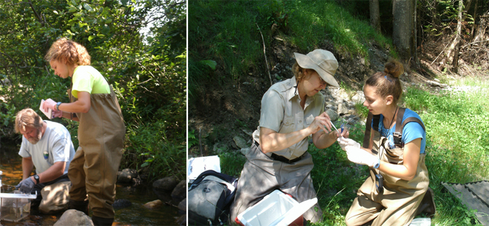 Figure 2: Collecting trout samples from True Brook (Saranac, NY) with fish biologist Dr. Timothy Mihuc (left) and in Great Brook, Plainfield, VT (right), with fish biologist Madeleine Lyttle.