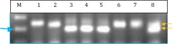 Figure 7: DNA electrophoresis results for Sfo-292 marker. M = 100 bp marker, blue arrow = 200 bp. Lanes 1-2, 6-7= brown trout samples; Lanes 3-5 = brook trout samples; lane 8 = suspected tiger trout sample, with two bands (yellow arrows) present that match both brook and brown trout bands.
