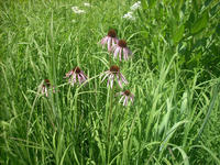 Purple coneflower (Echinacea pallida) is a common native prairie plant.