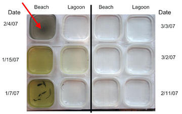 This photo shows my spring 07 samples. Note the contrast of the beach sample for February 4 (arrow) to the rest of the samples. This visually demonstrates the impact the beach construction had on the sample.