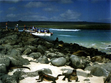 A pair of marine iguanas basks on the shore near our landing site, north of Punta Suarez. A panga boat disembarks its passengers in the background.