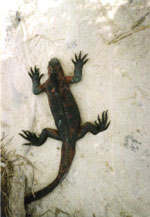 Overhead view of a dark-colored lizard lizard against light colored rock or sand. sand