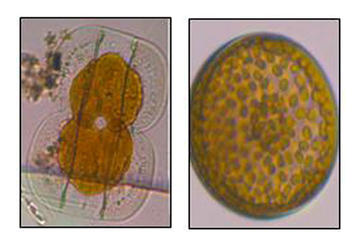Diatoms found in reactor creeks. Diatom Entomoneidaceae (left) and Diatom Coscinodiscaceae (right).