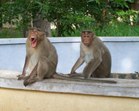 Two adult male Macaques