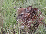 Donald captured this photograph of a fawn one morning. He often observed other wildlife as well.