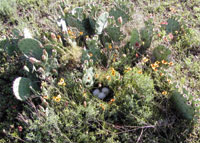 The dummy nest is positioned in a prickly pear cactus.