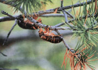 Figure 11: Cicada skins attached to a tree