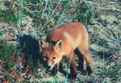 Finally noticing their guest (me), a red fox kit lowers its nose to the ground, searching the air for my scent