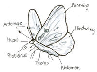 Figure 1: Anatomy of an Adult Butterfly