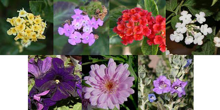 Four different colors of Lantana were used to test for color preference (top row). Four different types of flowers were used to test for structure preference (bottom row).