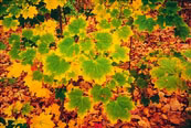 Norway maple leaves on the verge of turning to autumn color