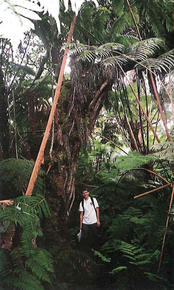 The author himself deep in the Ohi'a-Hapu'u Rain Forest standing under a large 'ohi'a tree. Notice the density of the forest and the great tangle of tree ferns. This dense growth makes navigating off the the trail almost impossible.