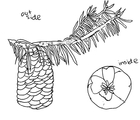 Figure 10: A sketch of the outside and inside of a Douglas fir cone.