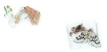 Figure 12: The two moths after they perished (brown catepillar on the left and green catepillar on the right).