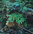 Figure 15: Bank of Salmon Creek with Western maidenhair fern.