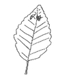 Figure 17: An alder leaf with three periwinkles.