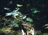Figure 5: A cluster of false lily of the valley.