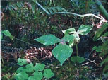 Figure 6: a western trillium in back and meadow rue in front.