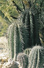 Small saguaros beneath a nurse tree - between 12 and 15 years old.