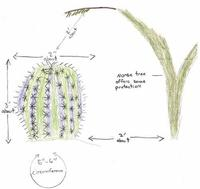 drawing of saguro cactus