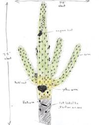 Saguaro Cactus: From Life to Death
