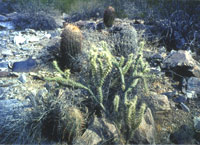 Cacti and plant species found at the field site.