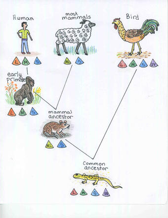 Figure 1: Evolutionary Tree. Different species evolved to have different numbers of cone cells and different color vision abilities. The common ancestor of mammals and birds had four cone cells, but nocturnal mammals lost two of these. Primates regained another cone cell, and humans now have three cone cells.