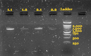 This was taken during the ribotype analysis to ensure that the PCR procedures had worked to amplify a fragment of the desired length (around 1,500 bp). The first number in the lane label is the sample number and the second is the elution number.