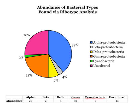Figure 3: Frequency of bacterial types within the mucus were found through the 16s ribotype analysis procedures. This graph shows that the majority of the microbial community within M. patula's mucus is alpha-proteobacteria.