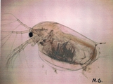 My science friend the Daphnia magna