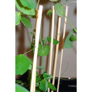 Details of pea plants grown with dowel stick supports.