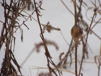 The goldenrod ball gall