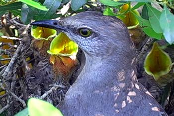 An adult mockingbird in nest with nestlings