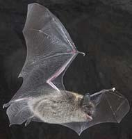 A bat is a flying mammal.