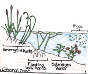 Types of Plants in the Littoral Zone
