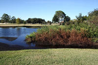 Riparian zone on the stream off the Bay Hill Golf Course's 16th green.