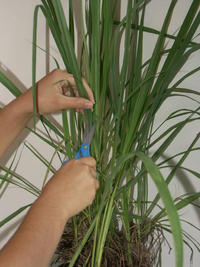 Lemongrass leaves are cut and weighed into one, three, and five grams.