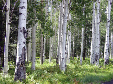 A grove of quaking aspen in a mixed conifer forest at 8000-9500 feet.