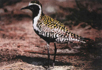 Male Pacific golden plover with breeding plumage