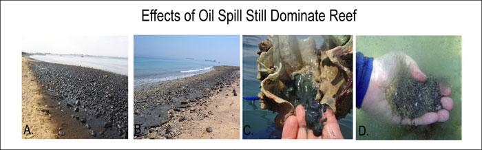 Figure 10: Oil covered the beach directly behind Zaki's Reef, (A) one day after the oil spill in July of 2005. Two years later, evidence of this spill still prevails in the sediment on the beach (B), on reef organisms (C) and in the sediment (D). Human carelessness and oil tankers offloading their tanks in the vicinity are responsible for careless spills of this nature occurring.