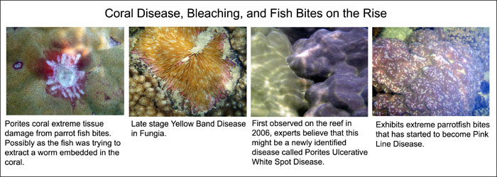 Figure 13: Incidences of coral disease and fish bites on the reef have increased dramatically since the oil spill in 2005.