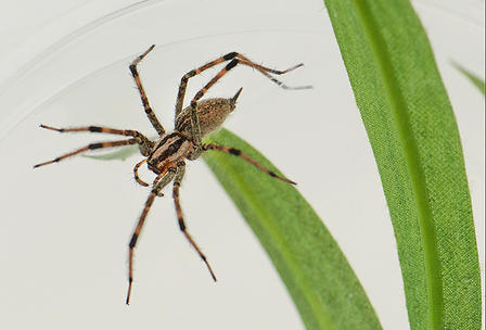Funnel-web Grass Spider