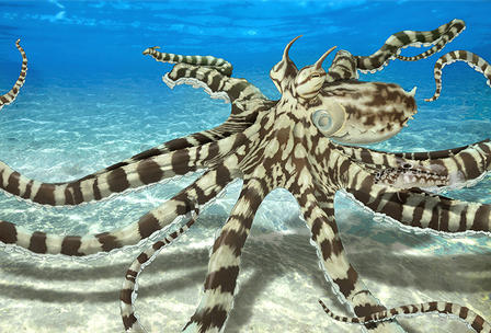 Striped mimic octopus hovers just above the ocean floor.