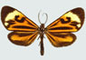 moths_cloaked_in_color_thumb_phaeochlaena_hazara.jpg