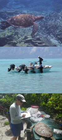 A sea turtle swimming, researchers on the beach and in a boat on the water.