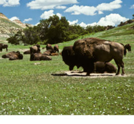 the dangers of extinction of the north american bison Prior to europeans settling in north america, they were primarily hunted by native americans, but over the course of the 19th century, they were hunted nearly to extinction by settlers as of 2013, the american bison is an endangered species, threatened mostly by predators like wolves and mountain lions.