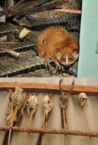A captured slow loris sits in a cage. A row of skeletton pieces from captured and traded animals.