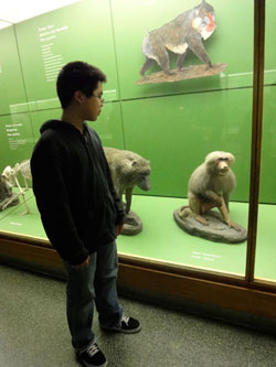 To prepare for his work at the zoo, Henry studied baboons at the Museum.  Photo courtesy of Henry.